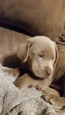 Labrador Retriever Puppy for sale in LE MARS, IA, USA