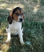Beagle Puppy For Sale in ARTHUR, IL, USA