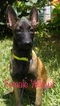 Belgian Malinois Puppy For Sale in MISSION, TX, USA