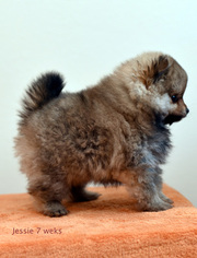 Pomeranian Puppy For Sale in SALEM, OR, USA