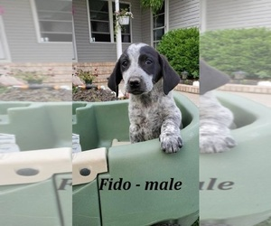 Labrador Retriever-Unknown Mix Puppy for sale in HOPKINSVILLE, KY, USA
