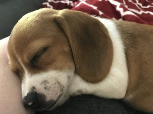 Beagle Dog For Adoption in PEARLAND, TX