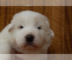 Puppy 6 Great Pyrenees