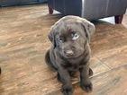 Small #49 Labrador Retriever