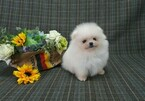 Pomeranian Puppy For Sale in HOLLYWOOD, CA, USA