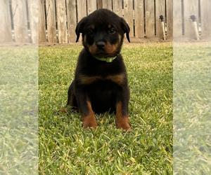 Rottweiler Dog for Adoption in ELDERWOOD, California USA