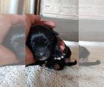 Small #3 Black Mouth Cur-Labrador Retriever Mix