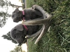 Labrador Retriever Puppy For Sale in CLEVELAND, UT,