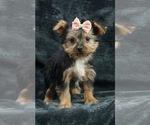 Puppy 11 Yorkshire Terrier