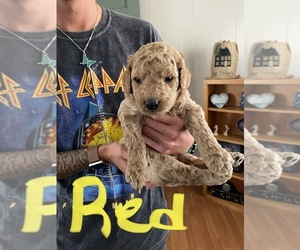 Goldendoodle Puppy for sale in BLUEFIELD, WV, USA
