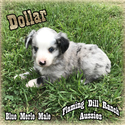 Miniature Australian Shepherd Puppy For Sale in FORESTBURG, Texas,