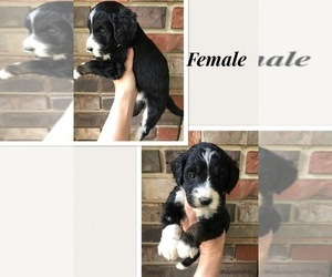 Bernedoodle-Poodle (Standard) Mix Puppy for Sale in COOKEVILLE, Tennessee USA