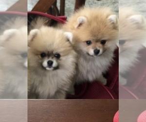 Pomeranian Puppy for sale in WEYMOUTH, MA, USA
