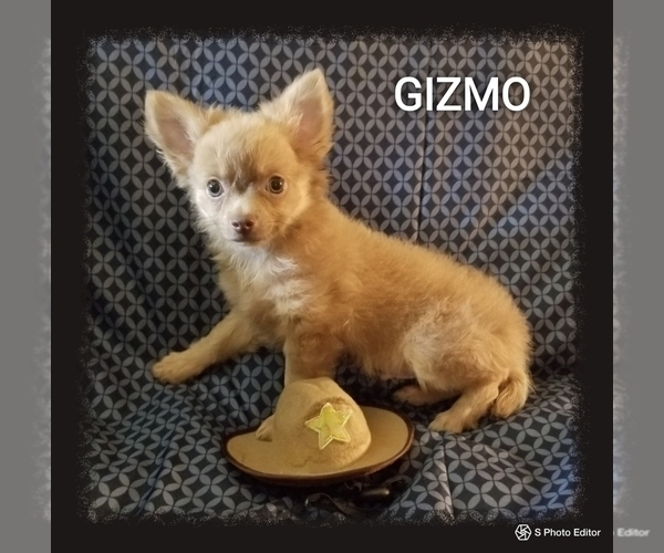 Medium Photo #1 Chihuahua Puppy For Sale in MANSFIELD, TX, USA