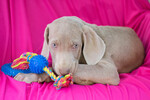 Weimaraner Puppy For Sale in KENT, OH, USA