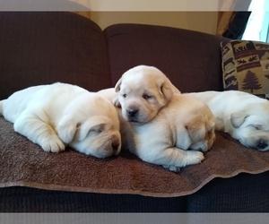 Labrador Retriever Puppy for Sale in WYOMING, New York USA
