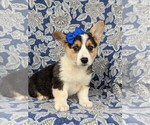 Small #2 Pembroke Welsh Corgi
