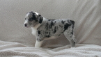 Australian Shepherd-Unknown Mix Puppy For Sale in KENSINGTON, OH, USA