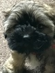 Zuchon Puppy For Sale in BRAINERD, MN, USA