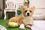 Pembroke Welsh Corgi Puppy For Sale in SAN JOSE, CA, USA