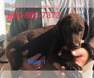 Labrador Retriever Puppy for sale in CLINTON, MO, USA