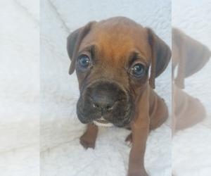 Boxer Puppy for Sale in METROPOLIS, Illinois USA