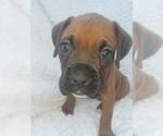 Puppy 1 Boxer