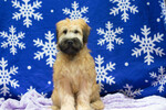 Soft Coated Wheaten Terrier Puppy For Sale in CUYAHOGA FALLS, OH, USA
