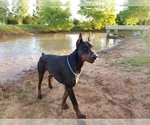 Small #2 Doberman Pinscher