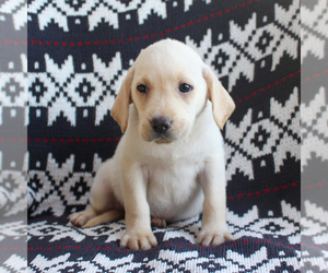 Labrador Retriever Puppy for sale in RONKS, PA, USA