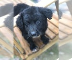Small Photo #2 Labrador Retriever-Pomeranian Mix Puppy For Sale in SPENCER, TN, USA