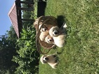 Golden Retriever Puppy For Sale in VERNON, NJ, USA