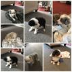 Miniature Australian Shepherd Puppy For Sale in COLORADO SPRINGS, CO, USA