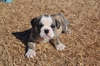 English Bulldog Puppy For Sale in TRYON, OK, USA