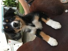 Australian Shepherd Puppy For Sale in GROVER, NC