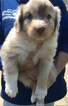 Australian Shepherd Puppy For Sale in BAXTER, Tennessee,