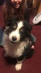 Australian Shepherd Puppy For Sale in PORTLAND, IN,