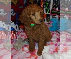 Poodle (Standard) Puppy for Sale in CLATSKANIE, Oregon USA