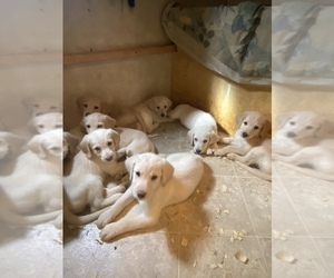 Labradoodle Puppy for sale in WEST POINT, GA, USA