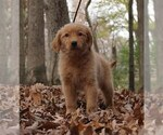 Puppy 13 Golden Retriever
