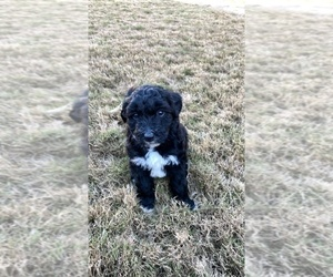 Aussiedoodle Puppy for sale in CARTERSVILLE, GA, USA