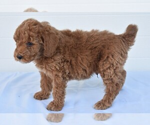 Labradoodle Puppy for Sale in MILLERSBURG, Ohio USA