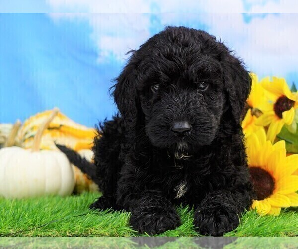 Medium Photo #2 Miniature Bernedoodle Puppy For Sale in FREDERICKSBG, OH, USA