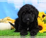 Small Photo #2 Miniature Bernedoodle Puppy For Sale in FREDERICKSBG, OH, USA