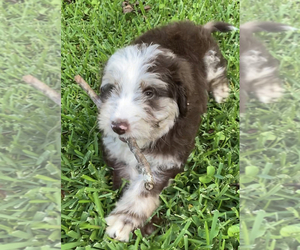 Border Collie-Bordoodle Mix Puppy for Sale in COMMERCE, Georgia USA