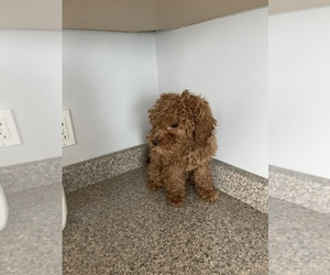 Cavapoo Puppy for sale in N HAVEN, CT, USA