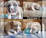 Small #4 American Bully