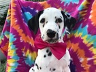 Dalmatian Puppy For Sale in QUARRYVILLE, PA, USA