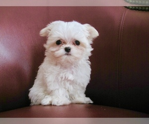 Maltese Puppy for Sale in MARIETTA, Georgia USA