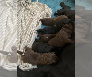 Labrador Retriever Puppy for sale in CONROE, TX, USA